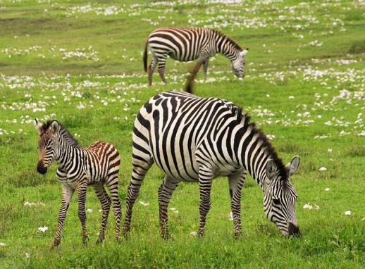 pixabay zebra+baby