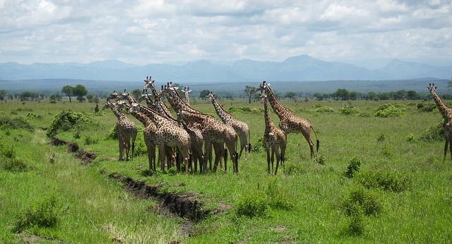 pixabay giraffe7