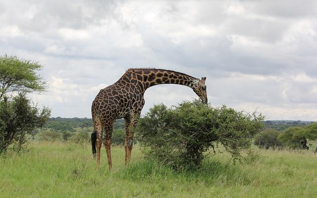 pixabay giraffe8