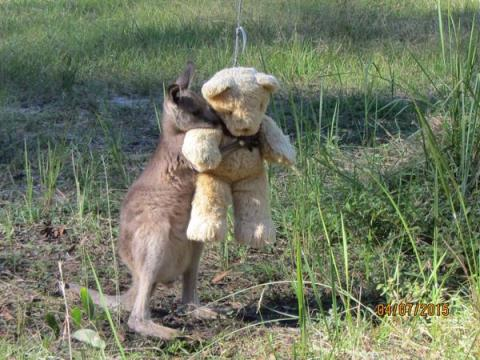 Kangaroo hugging teddy bear (photo by Gillian Abbott)