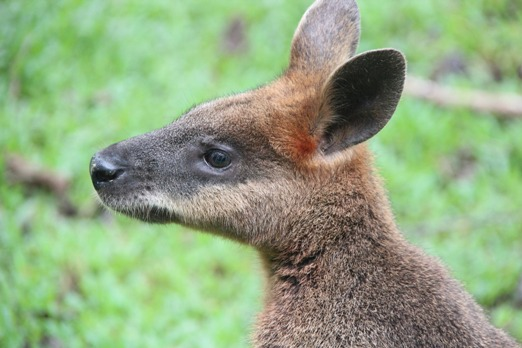 pixabay-kangaroo-wallaby