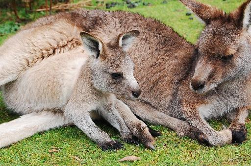 pixabay-kangaroo1