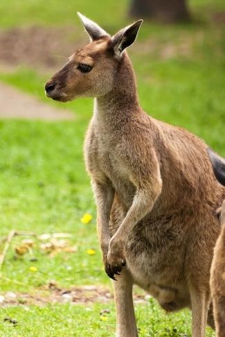 pixabay-kangaroo2