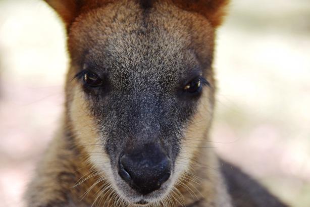 pixabay-kangaroo4