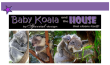 FREE koala article for kids giving glory to God as designer; free printable