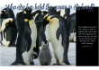 FREE Bible poster featuring cute emperor penguin chicks with parents; Bible verses from Zephaniah 3:17 and Isaiah 40:12; free printable